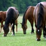 Razem konie kraść