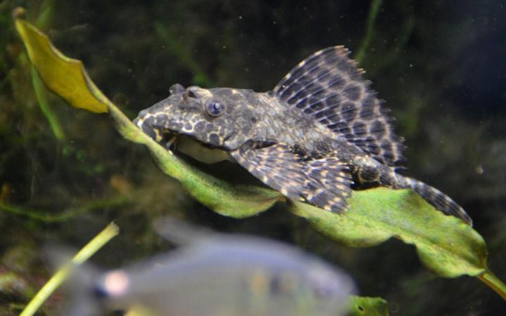 glonojad-w-akwarium