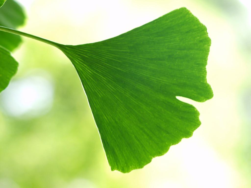 miłorząb japoński liść drzewo