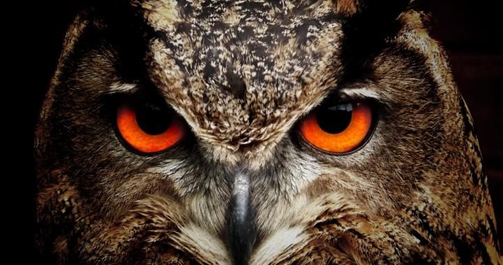 sowa-pomaranczowe-oczy