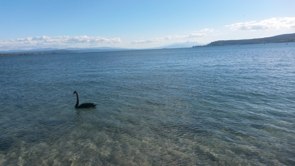 nowa-zelandia-czarny-labedz