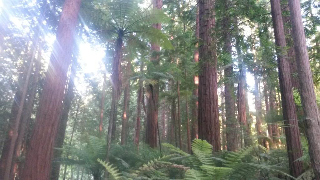 nowa-zelandia-drzewa-paproci-i-sekwoje