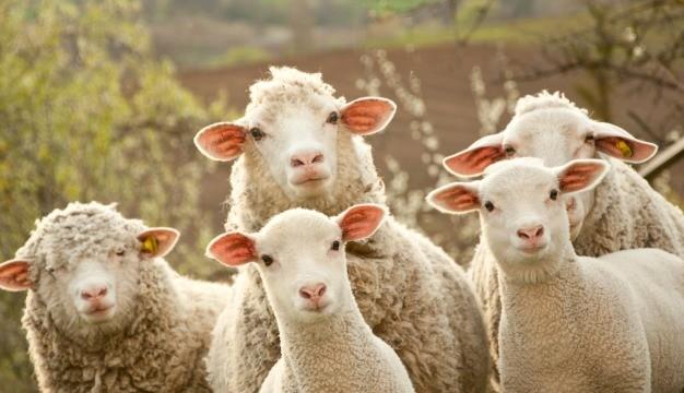 milczenie-owiec